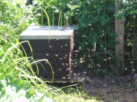 A swarm arrives at my bait hive.