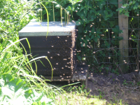 The swarm settling into it's new home.